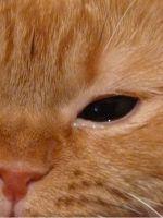 Тошнит кота белой пене