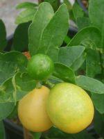 Лимонелла - уход