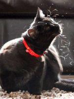 Лишай у кошек: лечение