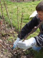 Обработка роз весной