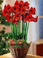 Почему амариллис не цветет?