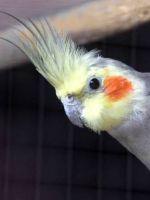 Сколько живут попугаи корелла?
