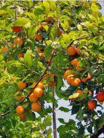 Посадка абрикоса весной