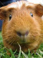Почему морская свинка – свинка?