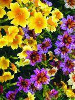 Сальпиглоссис - выращивание из семян