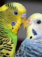 Болезни волнистых попугайчиков