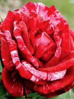 Cорта роз