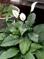 Спатифиллум: чернеют листья