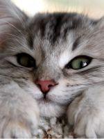 У котенка гноятся глаза