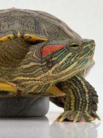 У красноухой черепахи шелушится кожа