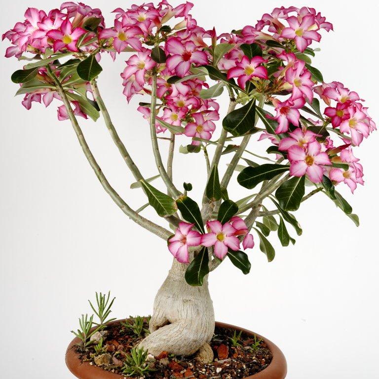 фиттония микс цветок