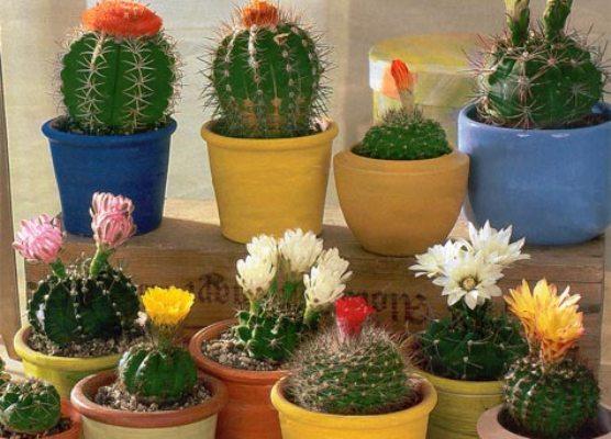 Кактусы цветущие уход в домашних условиях