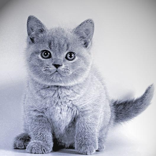 Как можно назвать кота британца