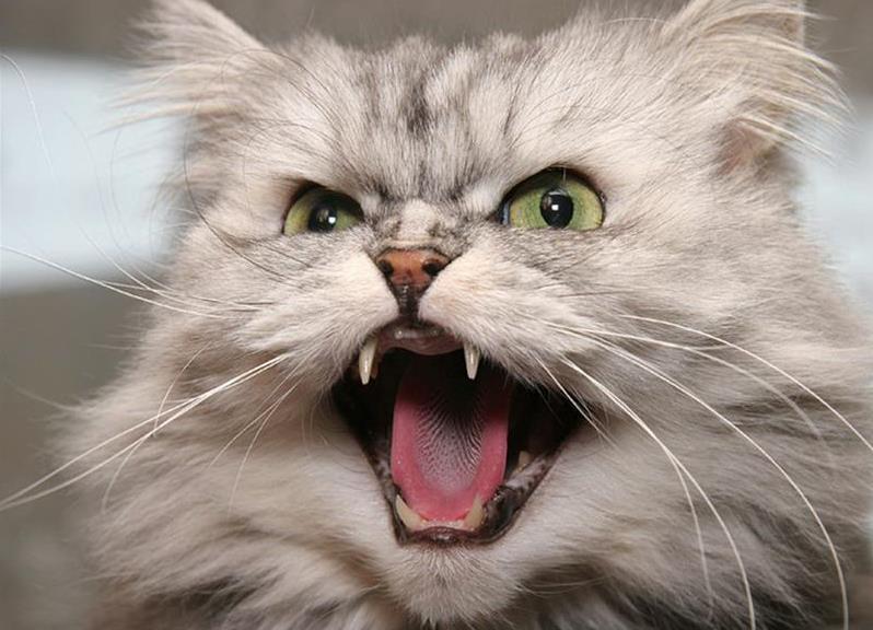 липома у кошки фото