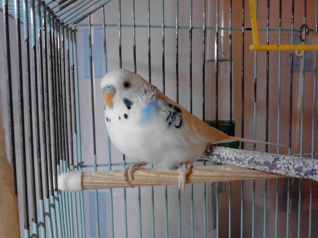 Жердочка для волнистого попугая своими руками