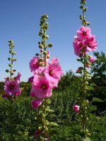 Мальва - шток-роза