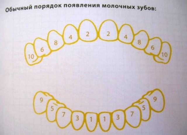 схемы прорезывания зубов,
