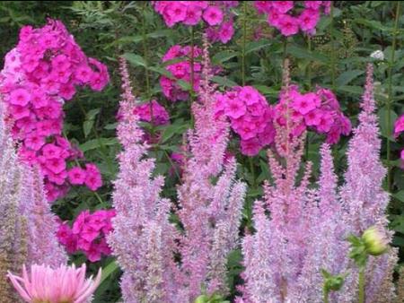 цветы лаватера фото: