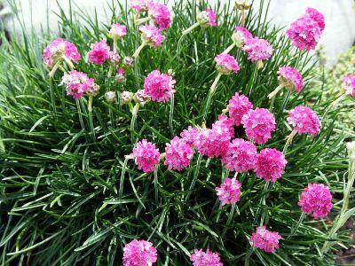 Многолетние низкорослые цветы цветущие все лето