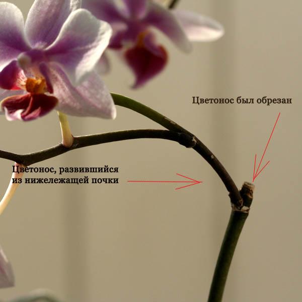 Обрезка орхидей уход за орхидеями в домашних условиях 393