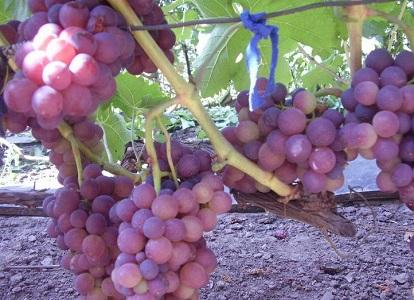 розовые сорта винограда1