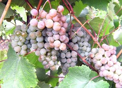 розовые сорта винограда2