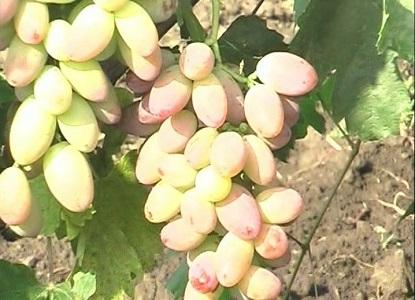 розовые сорта винограда4