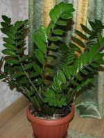Замиокулькас - долларовое дерево