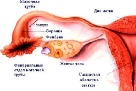 Желтое тело размеры при беременности
