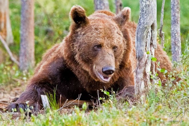 Бурый медведь в Кухмо, на востоке
