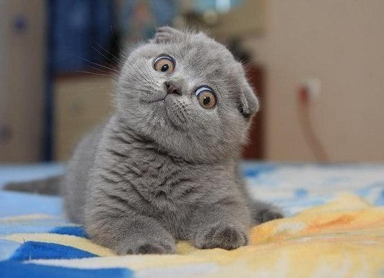 Сколько живут шотландские вислоухие коты