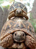 Как отличить черепаху мальчика от девочки?