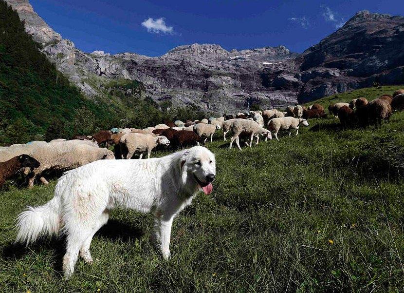 Собака пастух порода