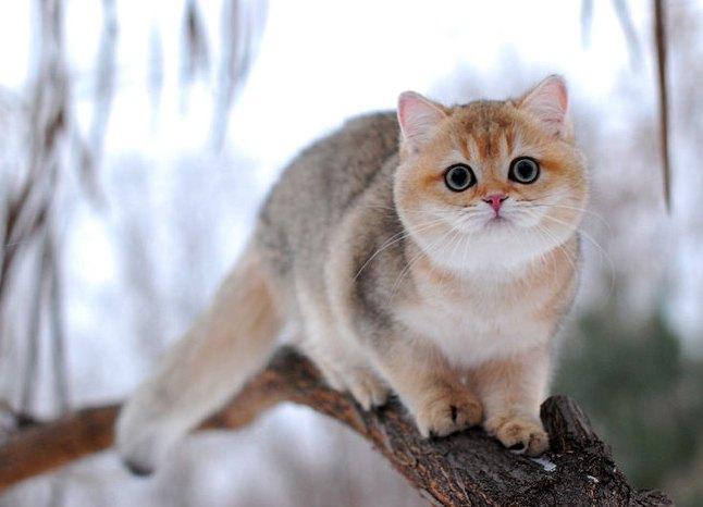 Петербургский сфинкс (50 фото кошки породы петерболд