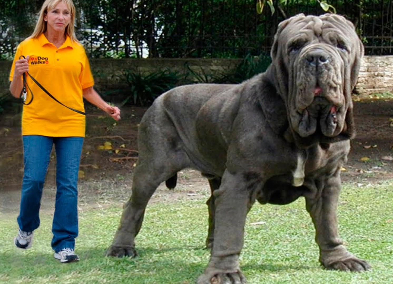 Pictures Of The Biggest Dog In The World