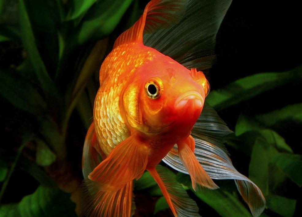 его как фотографировать аквариумных рыб известна своим буйным