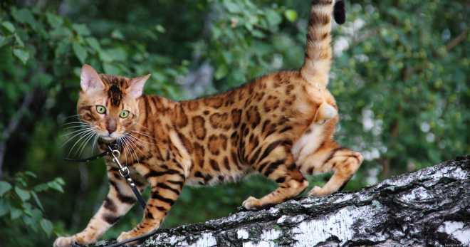 Бенгальская порода кошек - описание породы, характер и уход