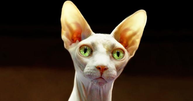 Уход за сфинксами котятами: кормление, купание, специфика