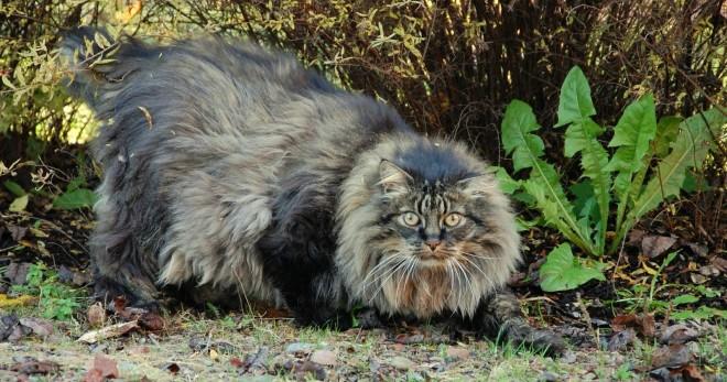 Норвежская лесная кошка - описание породы, характер