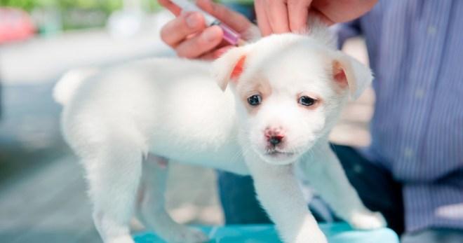 Какие прививки нужно делать щенку - полезные советы по вакцинации