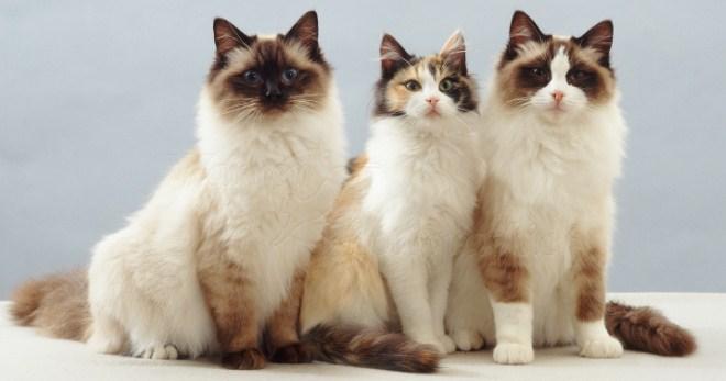Кошка породы Рэгдолл: описание породы, фото, характер