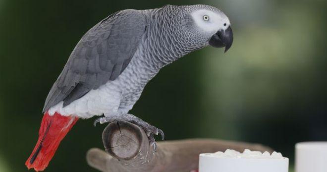 Разведение попугаев жако в домашних условиях