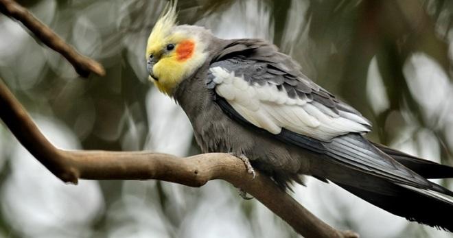 Попугай корелла - уход и содержание, полезные советы