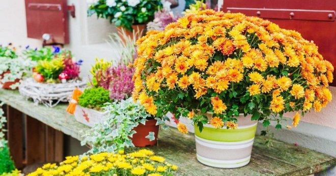 Уход за хризантемой в горшке в домашних условиях