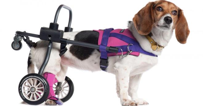 Повреждение суставов у собак дисплазия тазобедренных суставов у взрослых последствия