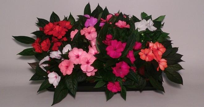 Огонек цветок уход в домашних условиях 93