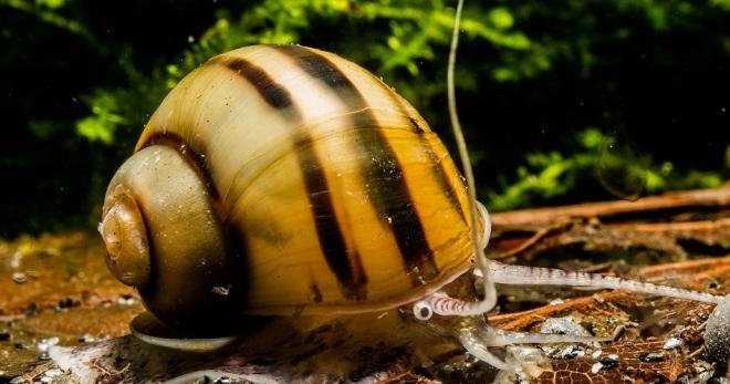 Улитки в аквариуме - виды, полезные советы по содержанию моллюсков