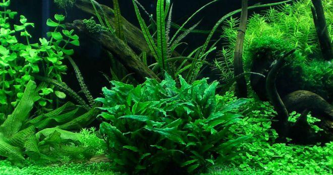 Как сажать криптокорину в аквариуме
