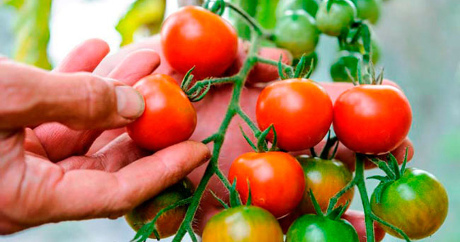 Как вырастить вкусные помидоры в теплице