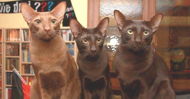 Гавана браун: фото, описание, окрас, характер, стандарт породы кошек